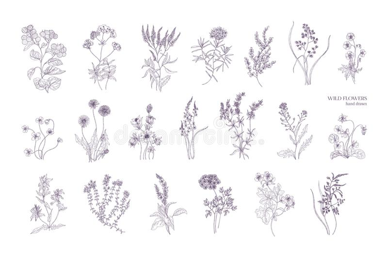 Paquete de dibujos botánicos detallados de flores salvajes florecientes Colección de mano herbácea de las plantas florecientes di stock de ilustración