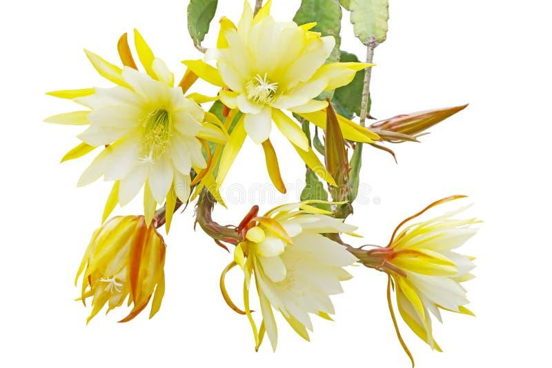 Paquete de Epiphyllum fotos de archivo