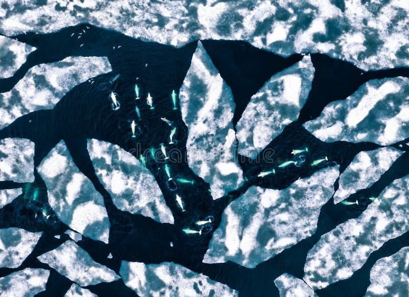 Paquete de las ballenas blancas en Spitsbergen que flotamos sobre un glaciar entre las masas de hielo flotante de hielo grandes fotografía de archivo libre de regalías