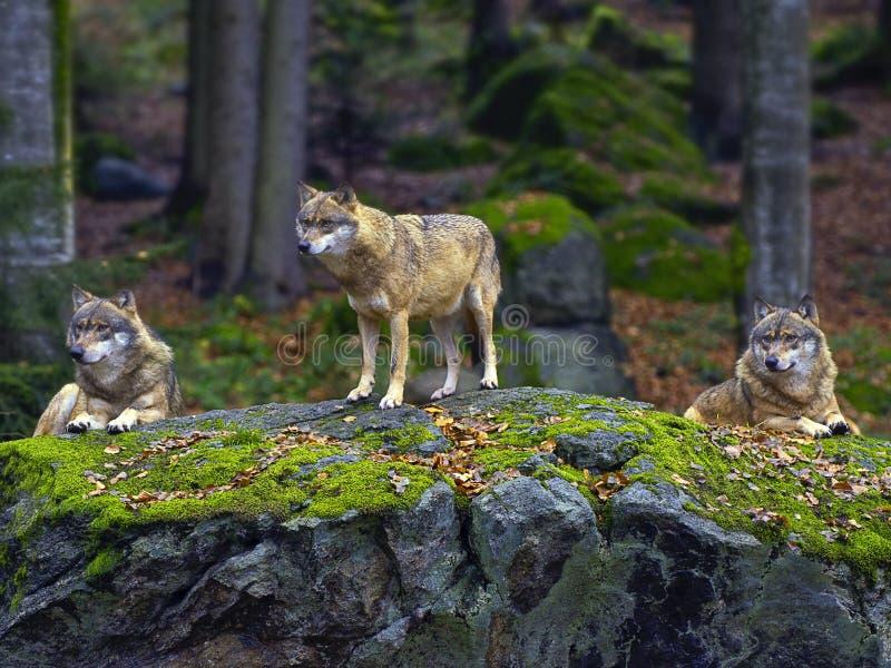 Paquete de lobo fotografía de archivo