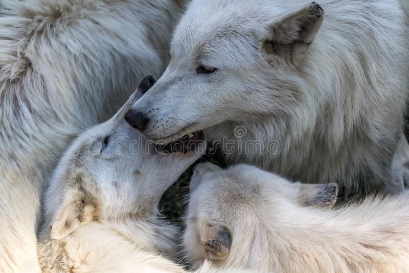 Paquete de lobos fotografía de archivo