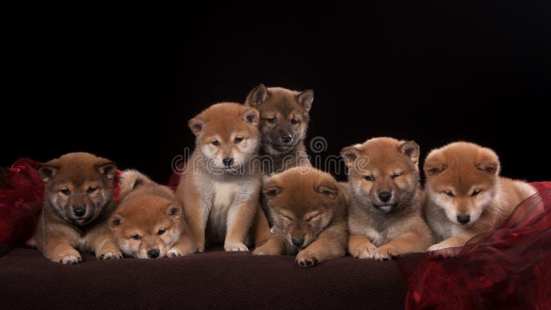 Paquete de siete perritos y de mirada del inu del shiba adentro imágenes de archivo libres de regalías