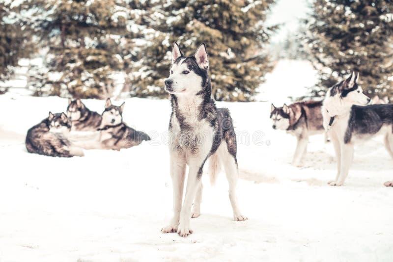 Paquete del husky siberiano en la nieve imagenes de archivo