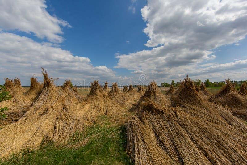Paquets de roseau pour sécher avec le ciel bleu et les nuages photo stock