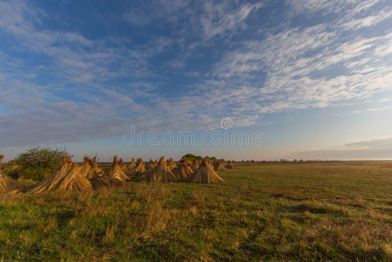 Paquets de roseau pour sécher avec le ciel bleu et les nuages images stock