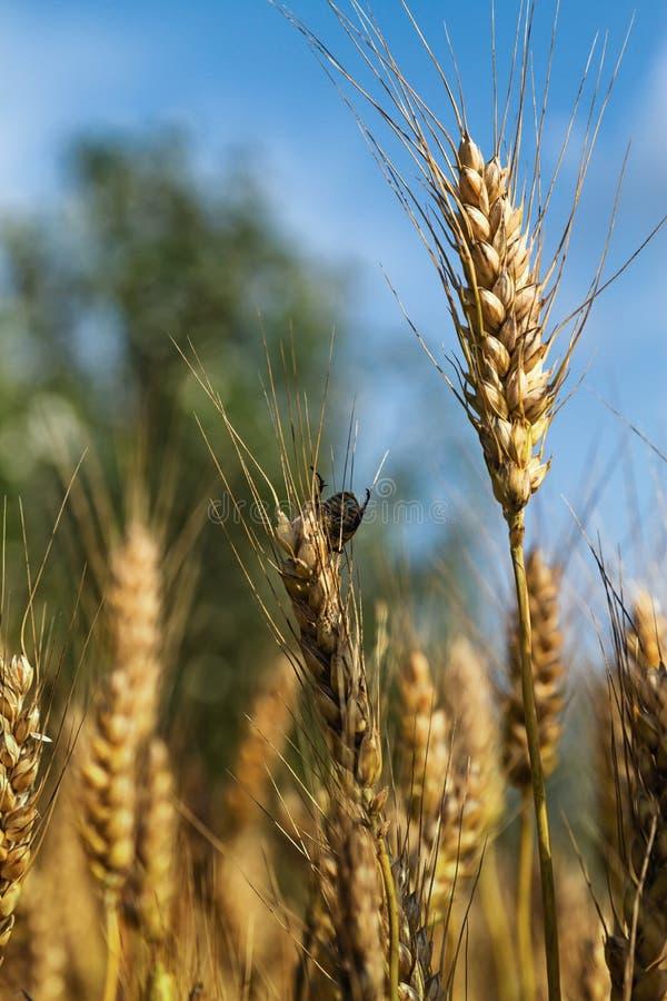 Parásito en campo de la cebada imagen de archivo