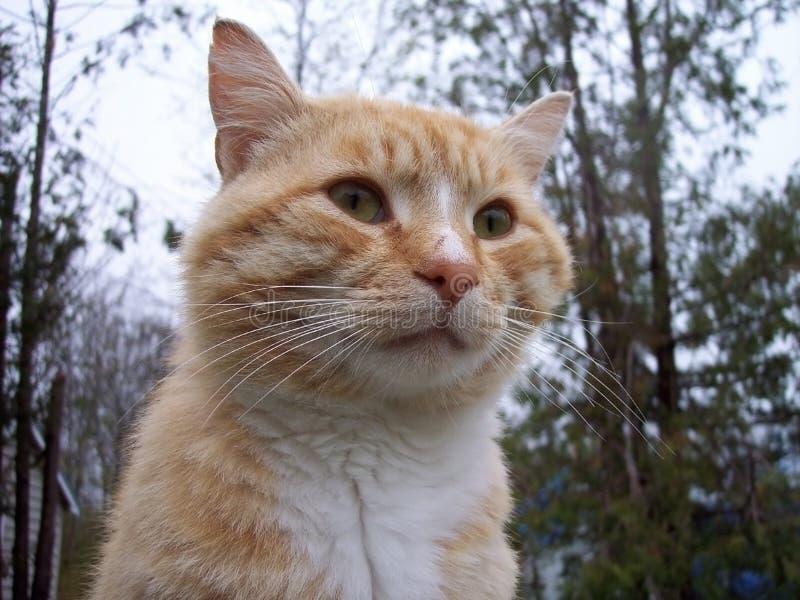 Download Parásito real foto de archivo. Imagen de gato, anaranjado - 184898