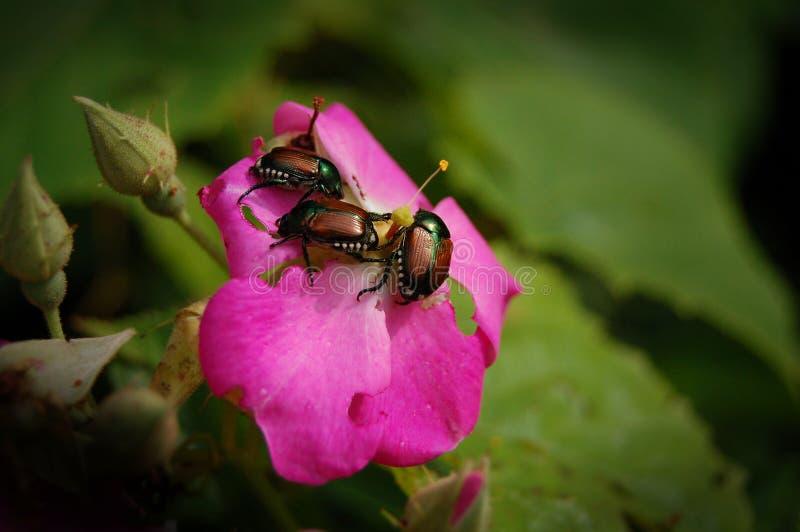 Parásitos del jardín - escarabajos japoneses imagen de archivo