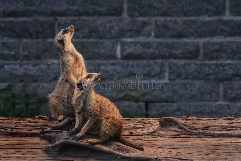 Par av älskvärda fluffiga meerkats är vakna och nyfikna att se int royaltyfri fotografi
