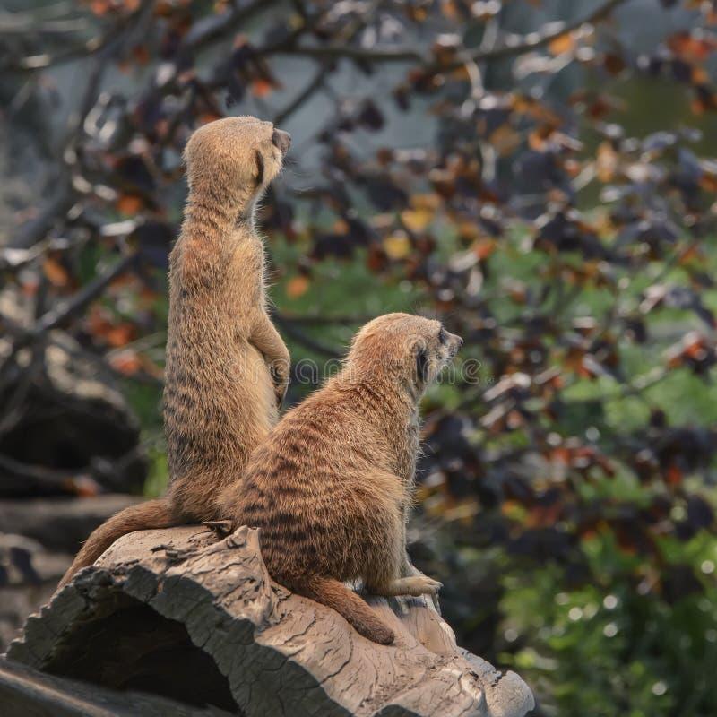 Par av älskvärda fluffiga meerkats är vakna och nyfikna att se int royaltyfri foto