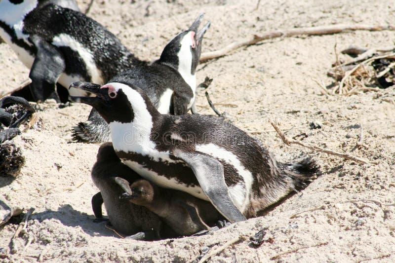 par av afrikanska pingvin arkivbild