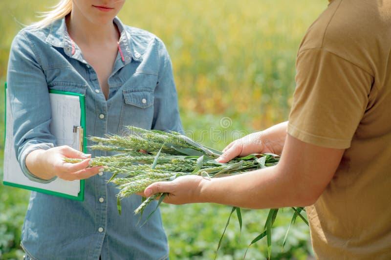 Par av agronomen som förhandlar om den framtida skörden av vete, arkivfoto