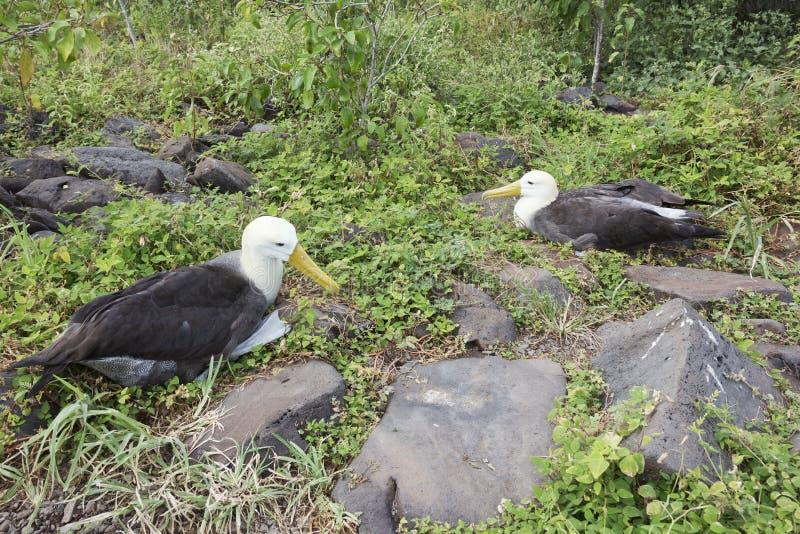 Par av albatrossar royaltyfri foto