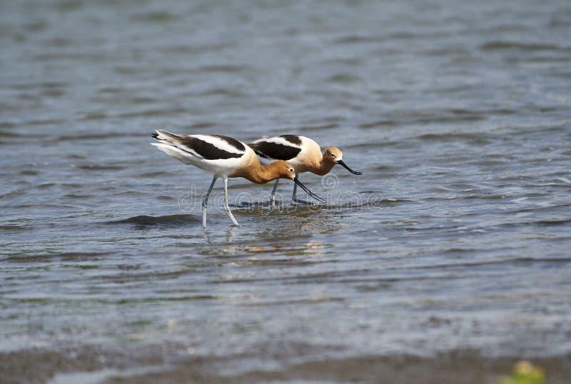 Par av americana söka efter föda för amerikansk AvocetRecurvirostra längs sjön Chapala royaltyfri fotografi