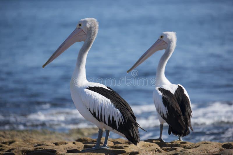 Par av australiska pelikanfåglar fotografering för bildbyråer