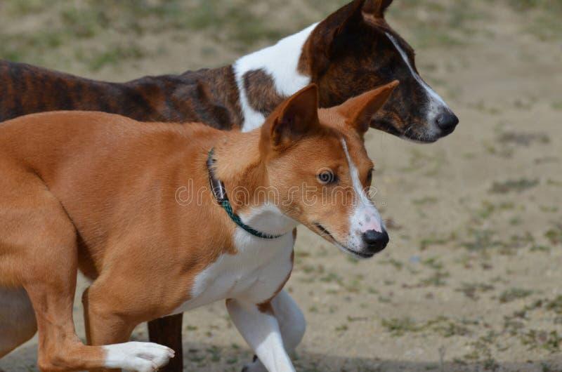 Par av Basenji hundkapplöpning fotografering för bildbyråer