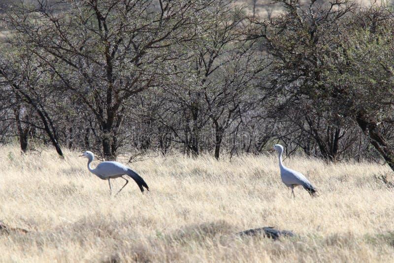 Par av blåa kranfåglar som uppvaktar på södra - afrikansk bushfeld royaltyfri foto