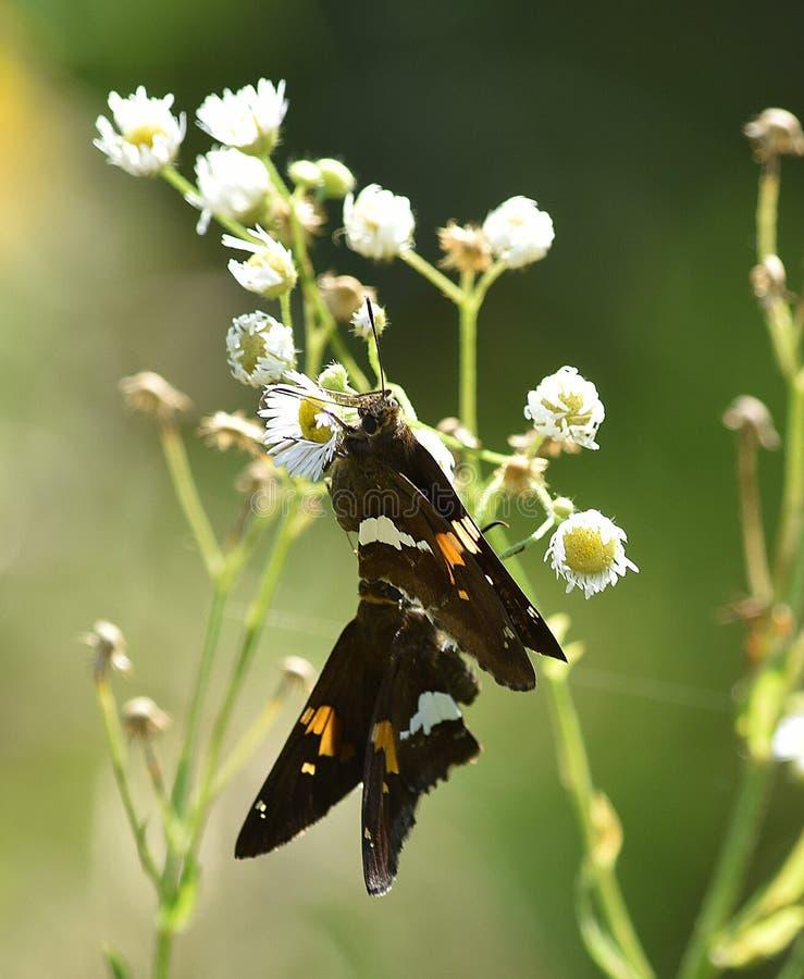 Par av bruna Hopperfjärilar royaltyfria foton