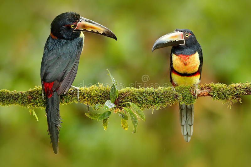 Par av Collared Aracari, Pteroglossus torquatus, fåglar med den stora räkningen Sammanträde för två tukan på filialen i skogen, B arkivfoton
