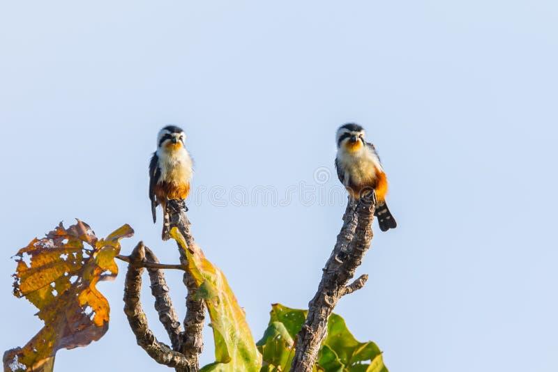Par av Collared Falconet (Microhierax caerulescens) royaltyfri foto