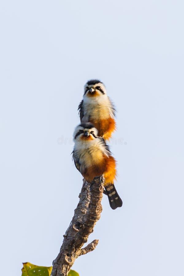 Par av Collared Falconet (Microhierax caerulescens) arkivbilder
