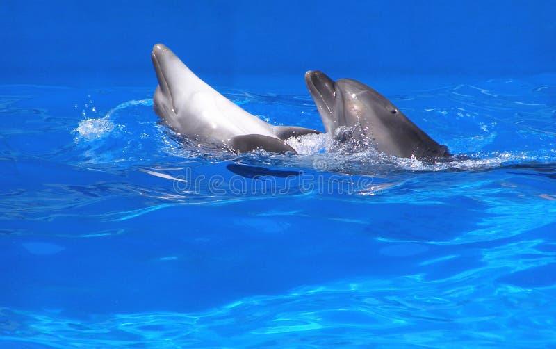 Par av delfiner royaltyfri bild