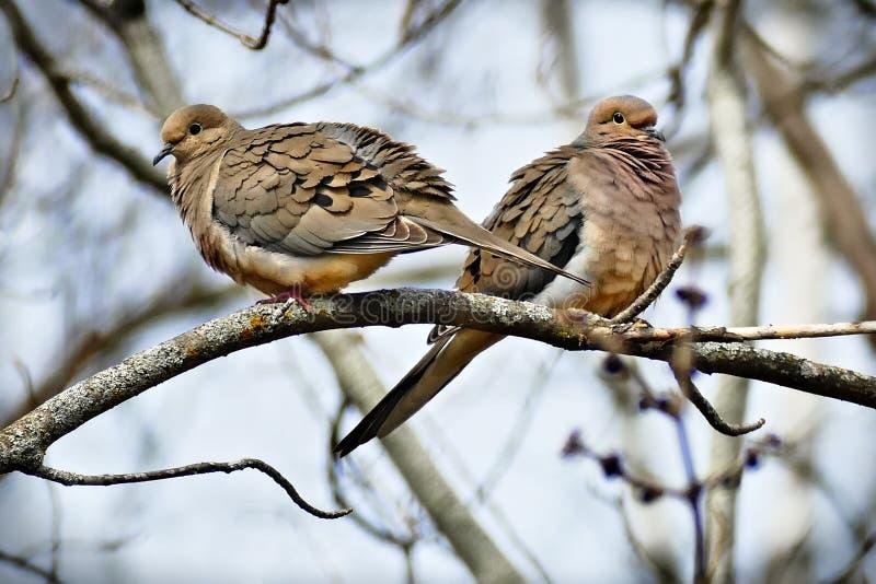 Par av den amerikanska zenaidamacrouraen för sörjande duvor eller regnduvan fotografering för bildbyråer