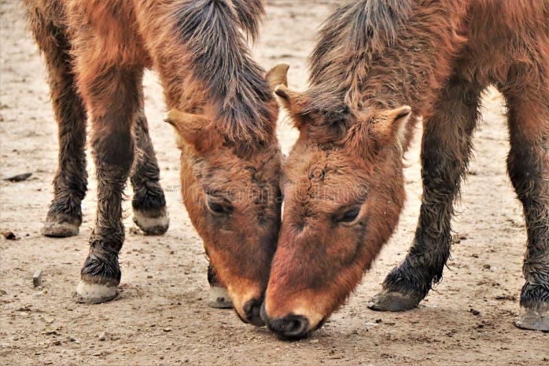 Par av den bruna ponnyn som tillsammans äter arkivfoto