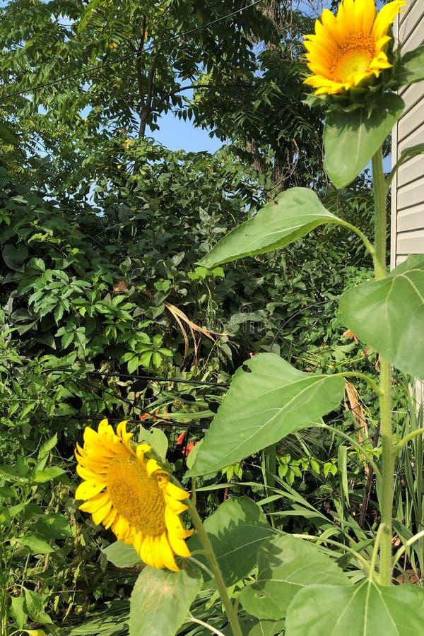 Par av den gula solrosen med Florets Pennsylvania 2019 royaltyfri foto