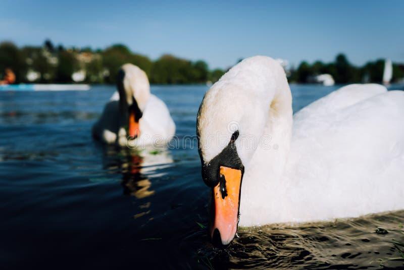 Par av den gulliga vita nådsvanen på Alster sjön på en solig dag i Hamburg royaltyfri fotografi