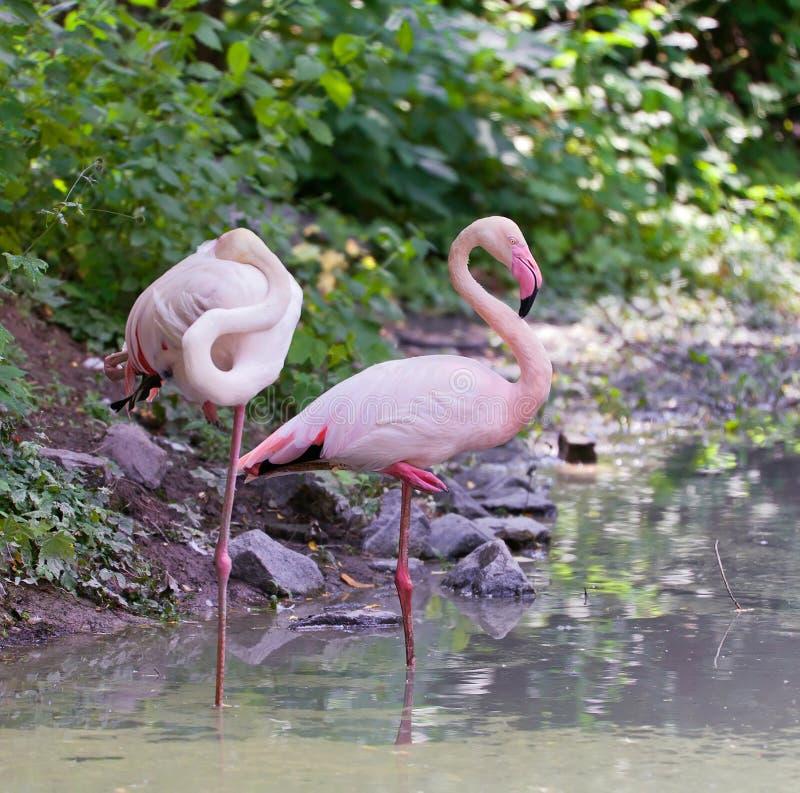 Par av den rosa flamingo som strandar i sjön arkivbilder