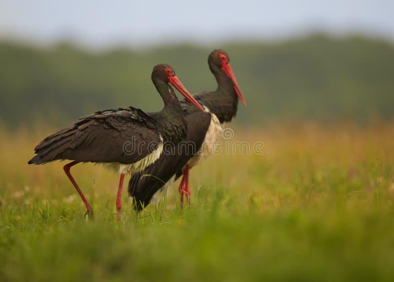 Par av den svarta storken, Ciconianigraanseende i äng arkivbilder