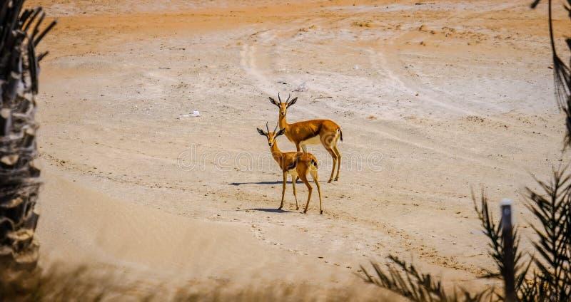 Par av den unga arabiska sandgasellen som stirrar på kameran, Saadiyat royaltyfri bild