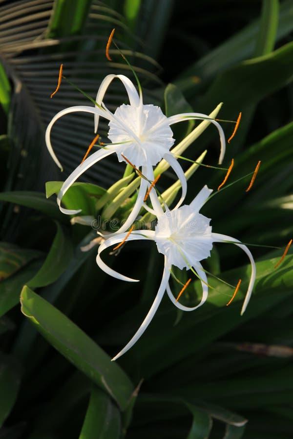 Par av den vita liljan som blommor med långa kronblad fotografering för bildbyråer