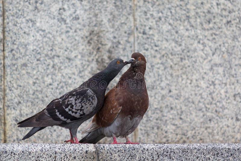 Par av duvor på stadsgatan arkivfoto