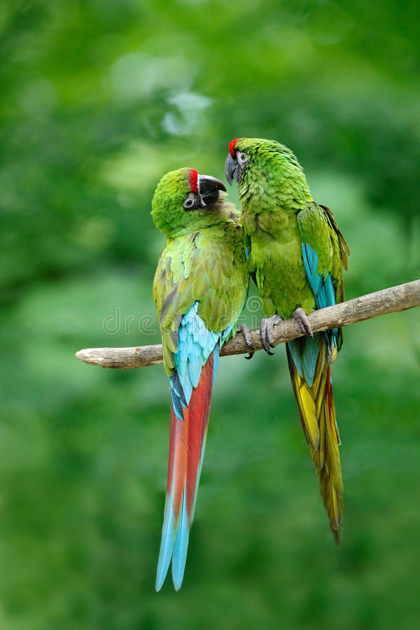 Par av fåglar, militär ara för grön papegoja, munkhättamilitaris, Costa Rica royaltyfri bild