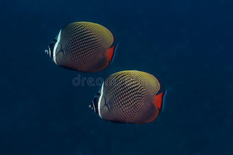 Par av försåg med krage Butterflyfish royaltyfria foton