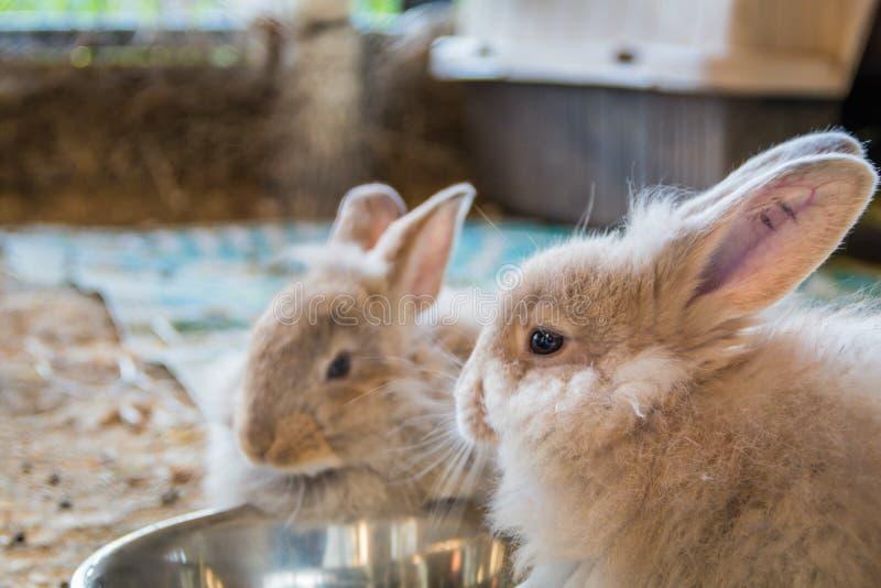 Par av förtjusande fluffiga kaninkaniner som äter ut ur silverbunken på den ståndsmässiga mässan royaltyfri foto