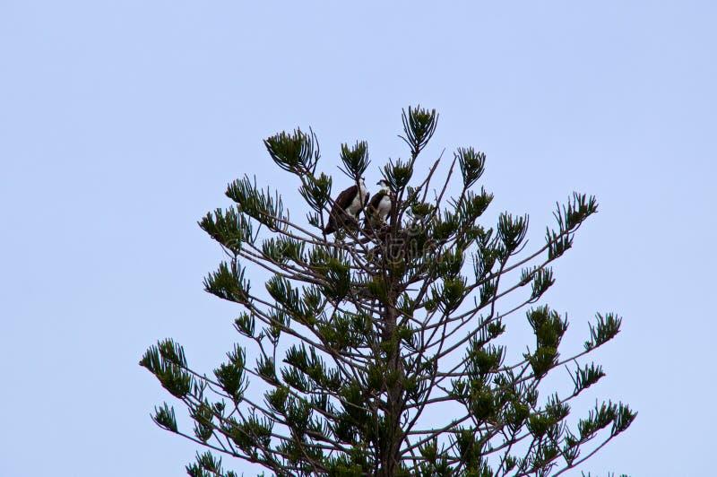 Par av fiskgjusen i treetop royaltyfri foto