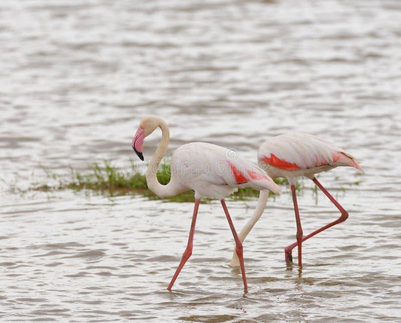 Par av flamingo` s arkivfoton