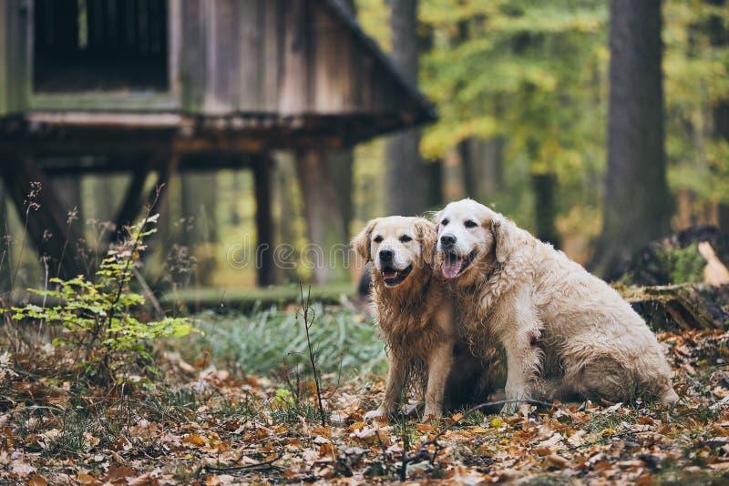 Par av gammal hundkapplöpning royaltyfri fotografi