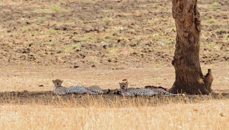 Par av geparden som vilar efter ett mål arkivbild