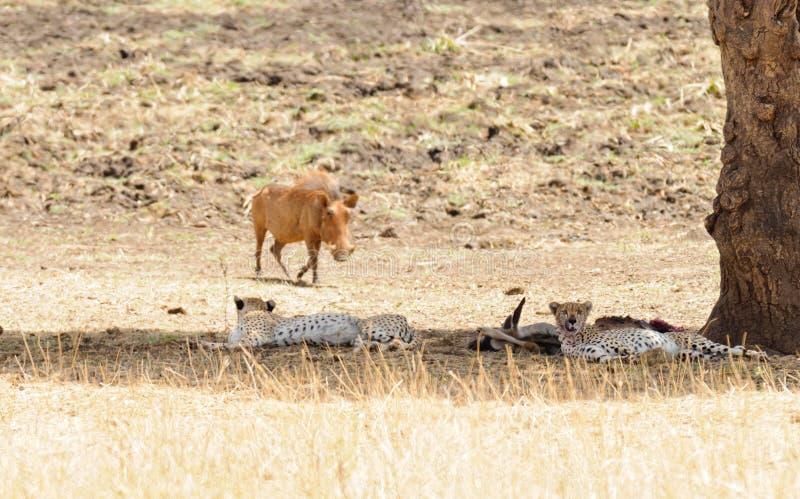 Par av geparden som vilar efter ett mål royaltyfria foton