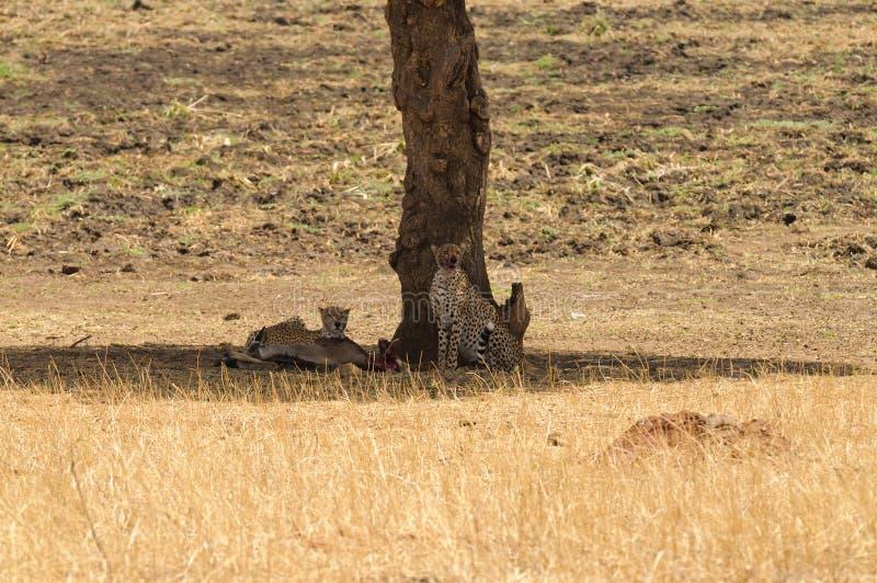Par av geparden som vilar efter ett mål royaltyfria bilder