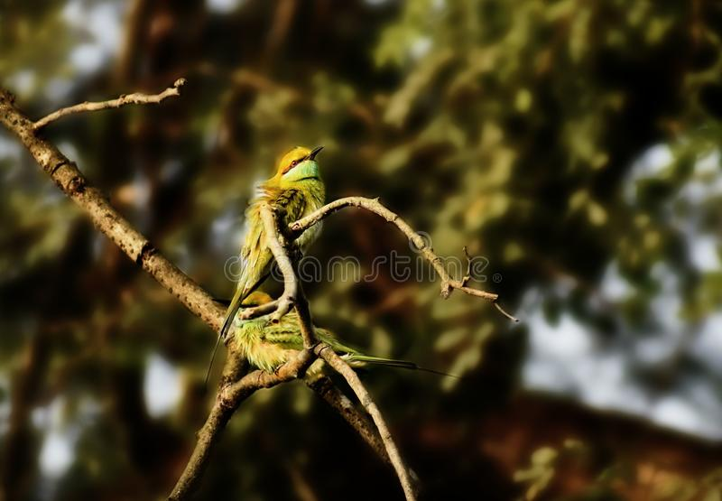 Par av gröna biätare arkivbilder
