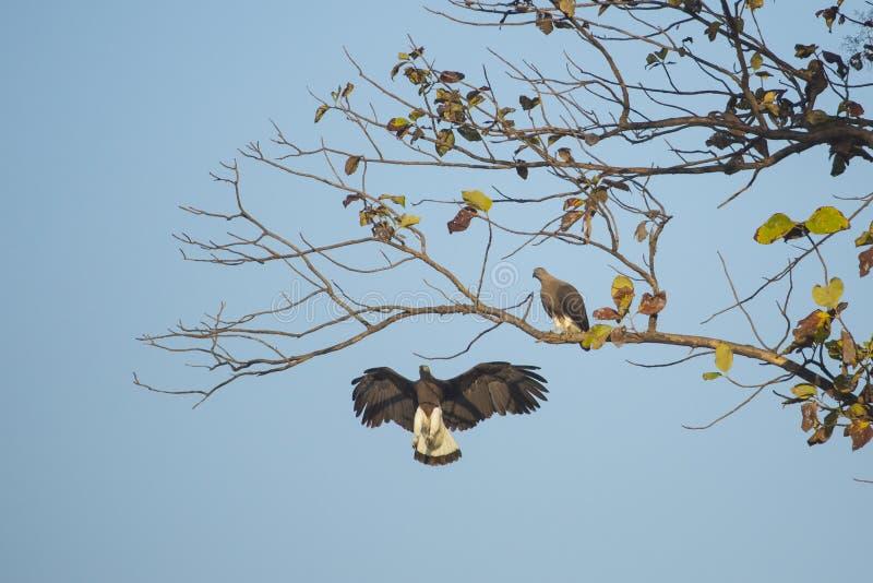 Par av Grey Headed Fish Eagles fotografering för bildbyråer