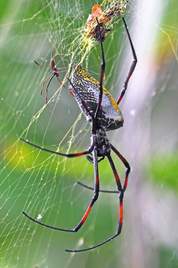 Par av guld- orb-vävare spindlar royaltyfri foto