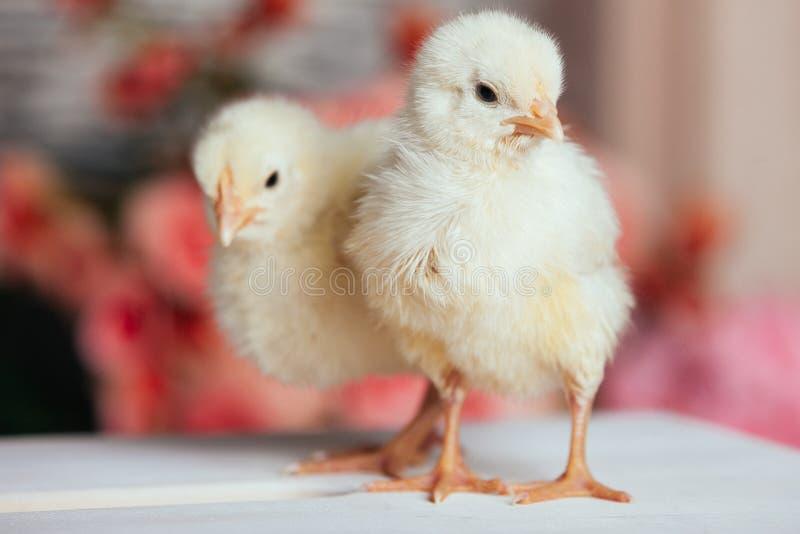 Par av gulliga vänliga små gula nyfödda fågelungar på en trätabell på suddig bakgrund royaltyfri foto