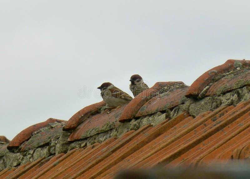 Par av härliga Eurasianträdsparvar som sitter på taket royaltyfri fotografi