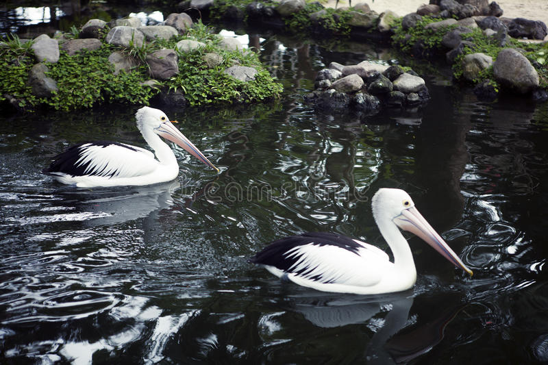 Par av härliga pelikan som simmar i parkera royaltyfria bilder